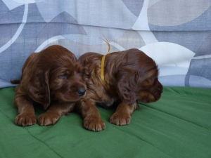 LIME AND GOLDEN BOYS 1 month