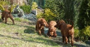 wszystkie szczeniaczki w ogrodzie- 8 tydzień