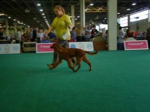 World Dog Show 18.05.2013 Budapeszt Baby Class VP.I Best Minor Puppy